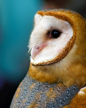 2019.02.16 Pints and Predators Barn Owl 10
