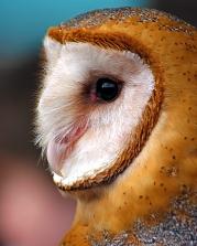 2019.02.16 Pints and Predators Barn Owl 11