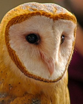 2019.02.16 Pints and Predators Barn Owl 2