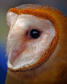 2019.02.16 Pints and Predators Barn Owl 3