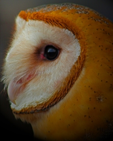 2019.02.16 Pints and Predators Barn Owl 5