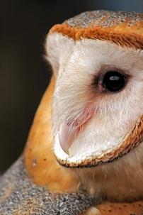 2019.02.16 Pints and Predators Barn Owl 7