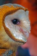 2019.02.16 Pints and Predators Barn Owl 9