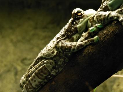 2017.05.14 Frogs@FLMNH Amazon Milk Frog
