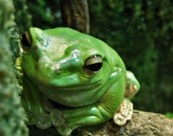 2017.05.14 Frogs@FLMNH Chinese Gliding Frog 1
