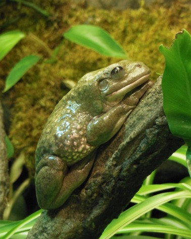2017.05.14 Frogs@FLMNH Mexican Dumpy Frog 1