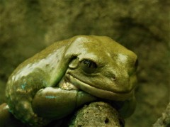 2017.05.14 Frogs@FLMNH Mexican Dumpy Frog 2