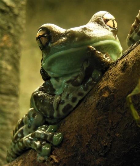 2017.05.30 Frogs@FLMNH Amazon Milk Frog