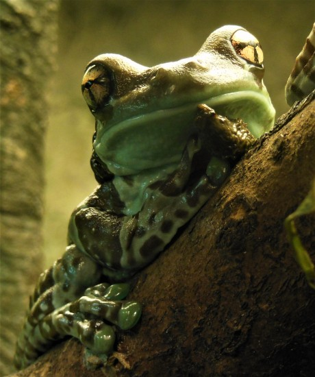 2017.05.30 Frogs@FLMNH Amazon Milk Frog