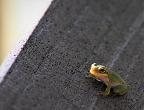 2017.08.19 La Chua Trail Frog 1