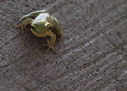 2017.08.19 La Chua Trail Frog 2