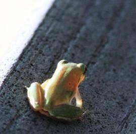 2017.08.19 La Chua Trail Frog 3