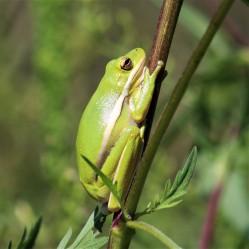 2017.09.13 Boulware Springs Gainesville-Hawthorne Trail Entrance Frog 1