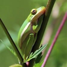 2017.09.13 Boulware Springs Gainesville-Hawthorne Trail Entrance Frog 2