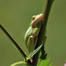 2017.09.13 Boulware Springs Gainesville-Hawthorne Trail Entrance Frog 4