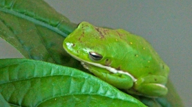 2017.11.05 Butterfly Rainforest Frog 1
