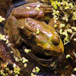2017.11.20 La Chua Trail Frog 1