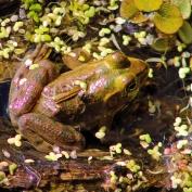 2017.11.20 La Chua Trail Frog 2