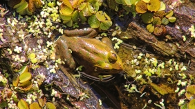 2017.11.24 La Chua Trail Frog 1