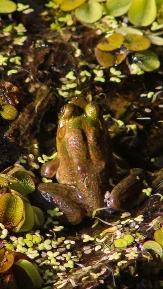 2017.11.24 La Chua Trail Frog 2
