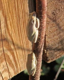 2018.02.18 La Chua Trail Frog 1