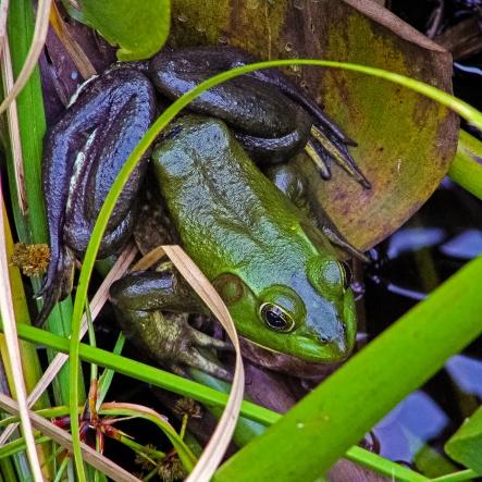 2018.12.28 La Chua Trail Bronze Frog 1