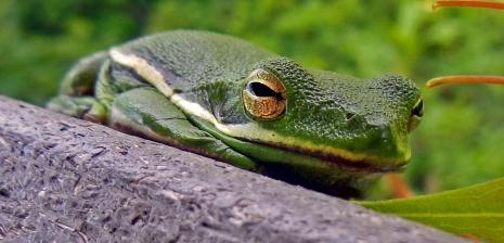 Frog (1)