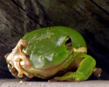 Frog (3)