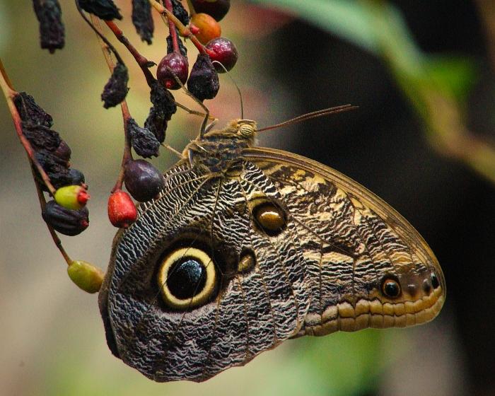 2017.09.16 Butterfly Rainforest Butterfly 13.alt