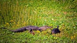 2019.12.08 Sweetwater Wetlands Alligator 2