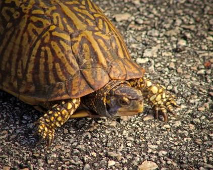 2019.12.08 Sweetwater Wetlands Box Turtle 1