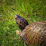2019.12.08 Sweetwater Wetlands Box Turtle 4