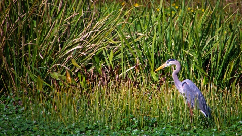 2019.12.08 Sweetwater Wetlands Great Blue 3