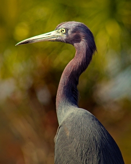2019.12.08 Sweetwater Wetlands Little Blue Heron 1