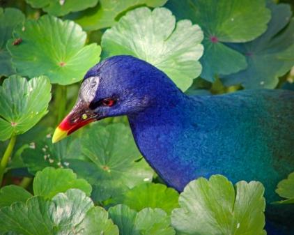 2019.12.08 Sweetwater Wetlands Purple Gallinule 1