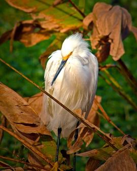 2019.12.08 Sweetwater Wetlands Snowy Egret 2