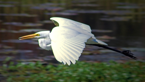2019.12.08 Sweetwater Wetlands White Egret 1