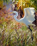 2019.12.08 Sweetwater Wetlands White Egret 2