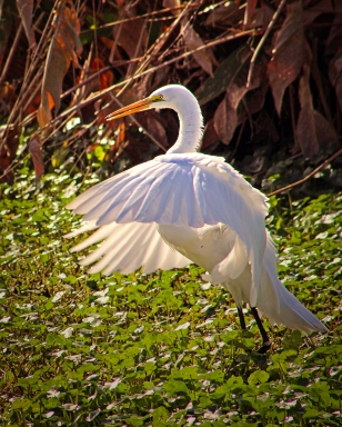 2019.12.08 Sweetwater Wetlands White Egret 7